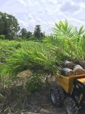 Mini Dumper KT-MD250C working in Palm Plantation