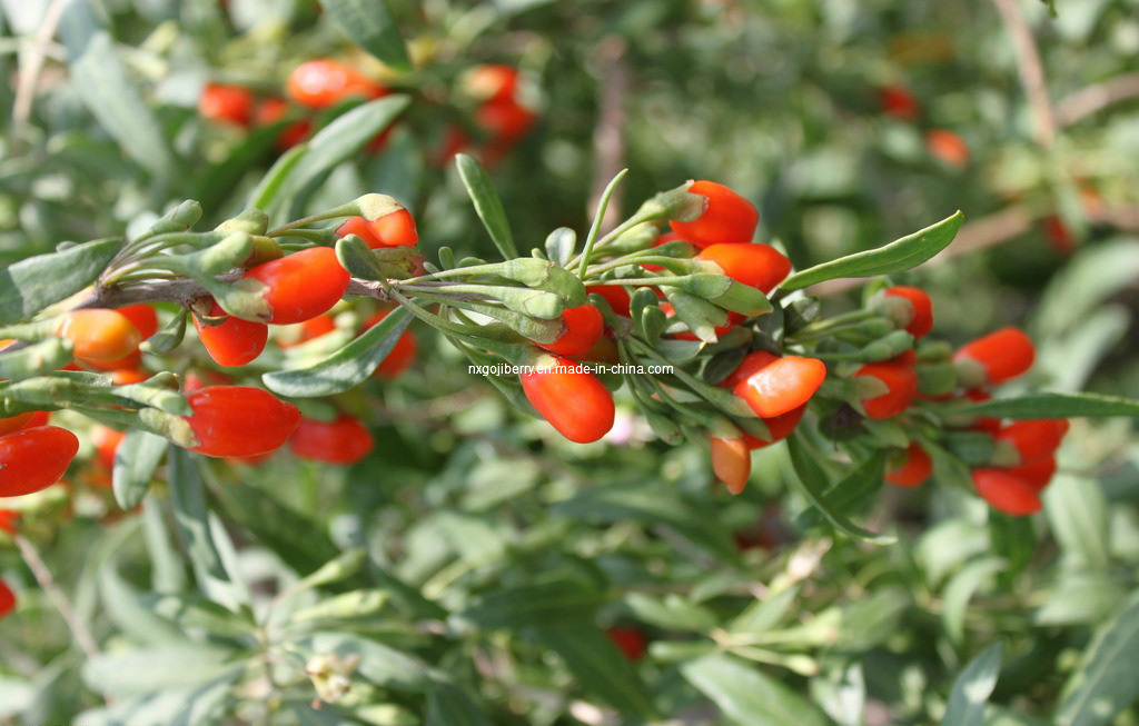 Dired Goji Berry Origined From Ningxia, China