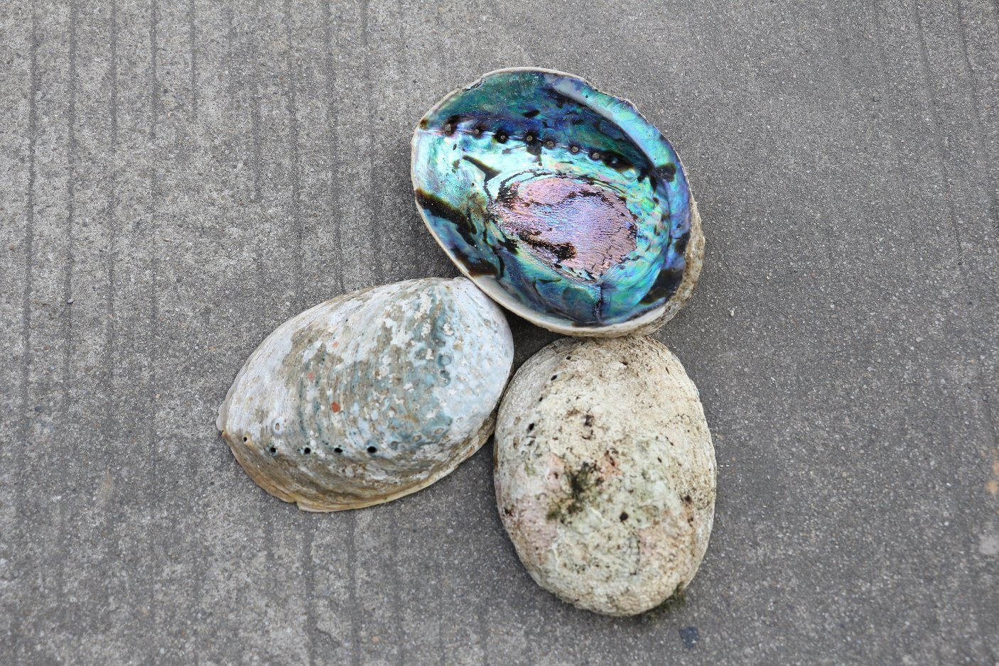 New Zealand Paua Abalone Shell Raw Material for Home Decoration