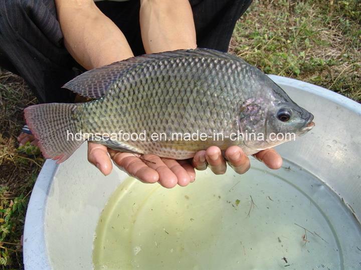 Frozen Whole Round Fish Black Tilapia
