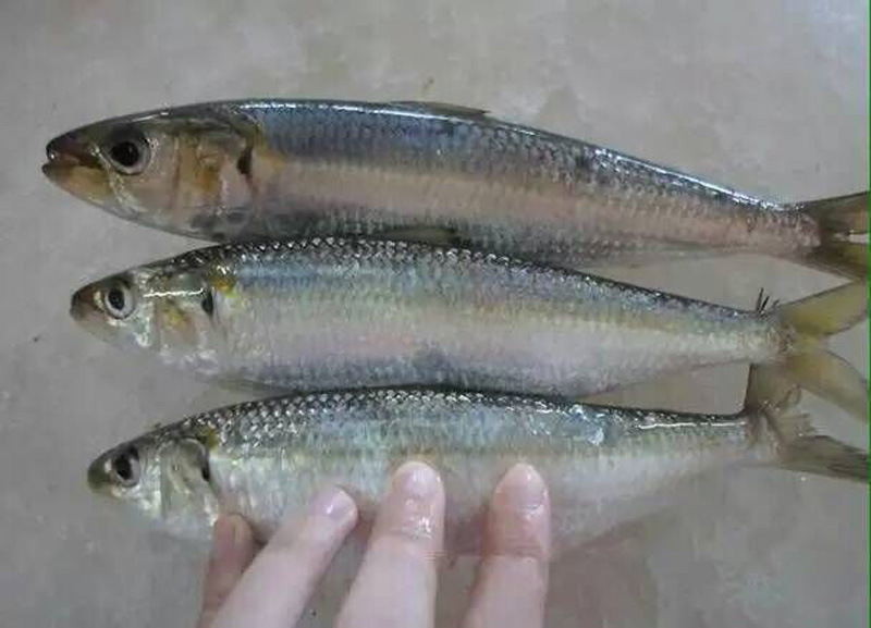 Frozen Fish New Style Pacific Sardine
