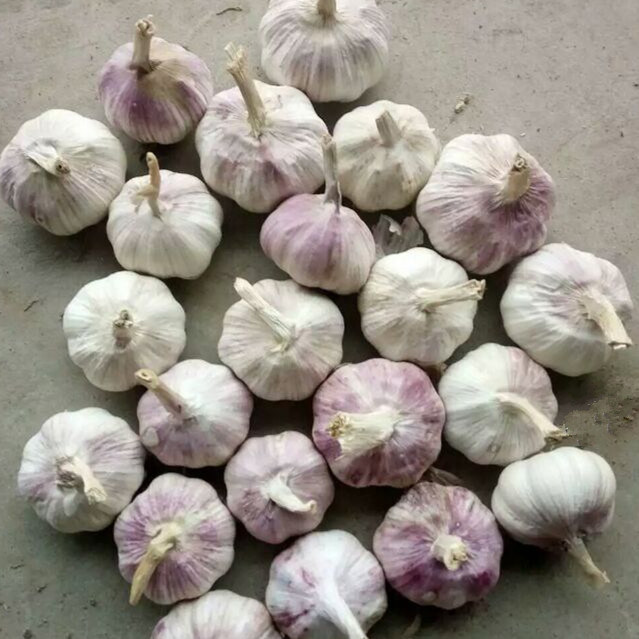 New Season Fresh Garlic Top Quality