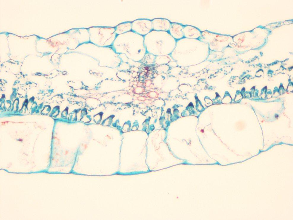 Microscope Prepared Slides, Common Plant Slides