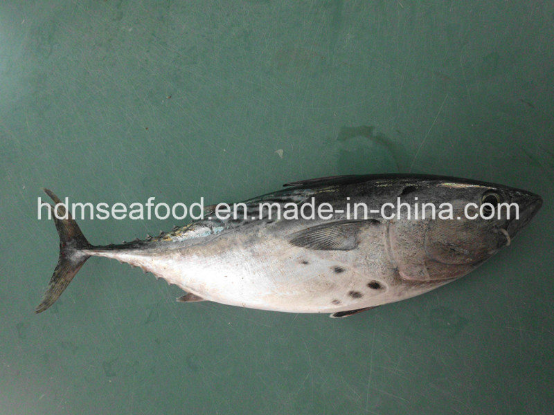 Whole Round Frozen Bonito Fish (Euthynnus affinis)