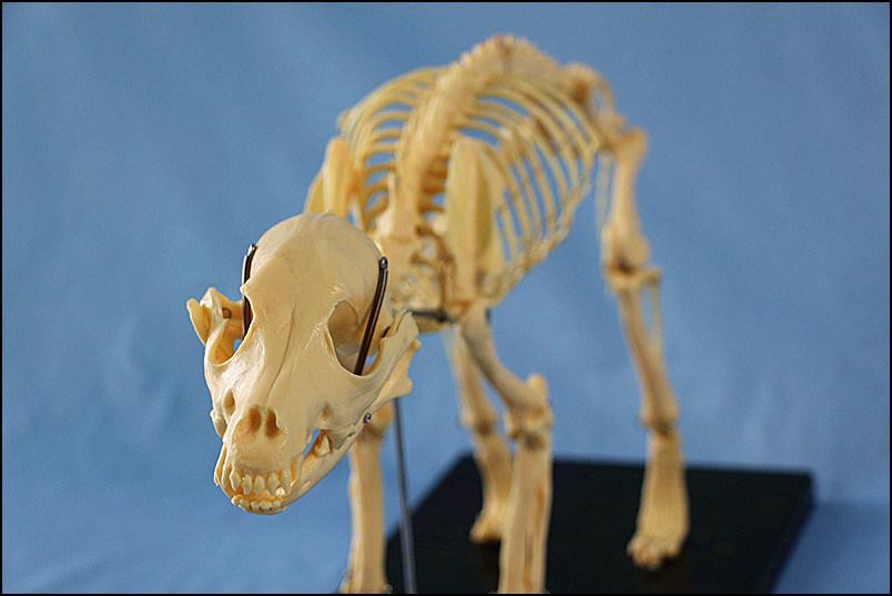 Animal Model Dog Skeleton Model for Pharmaceutical and Veterinarian′s Reference