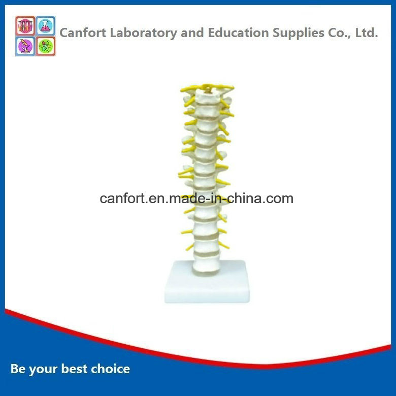 High Quality Medical Teaching Model, Life Size Thoracic Spine Model