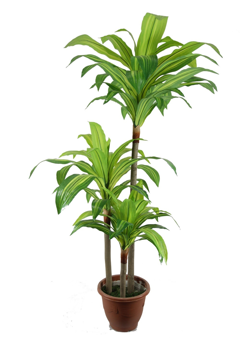 Houseplant related keywords houseplant long tail for Plante dracaena