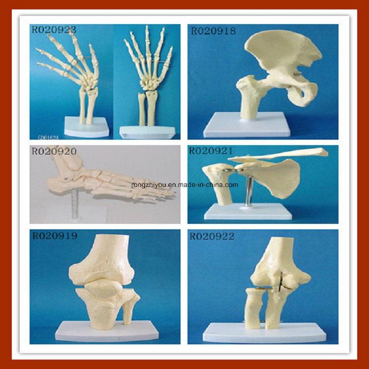 Human Anatomical Simulation Hip Skeleton Model for Medical Teaching
