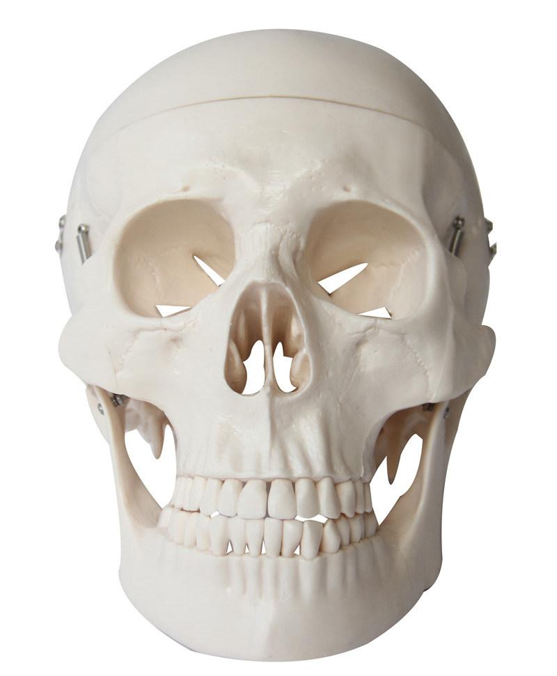 Human Skull Model, Natural Size Skull