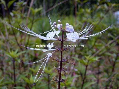 Sinensetin 1% Sinensetin 0.2% Orthosiphon Extract & Passiflora Extract