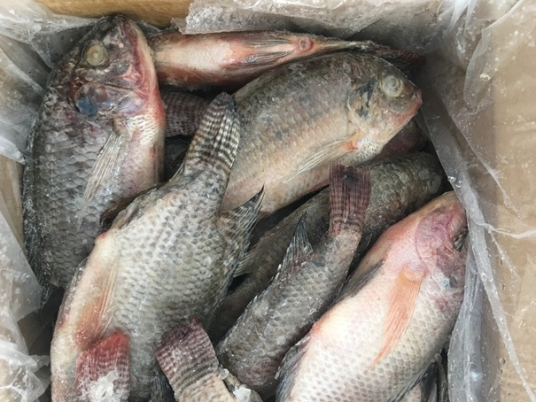 Whole Round Frozen Tilapia Prices