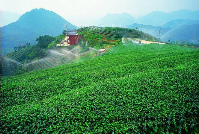 Green Tea in New Season