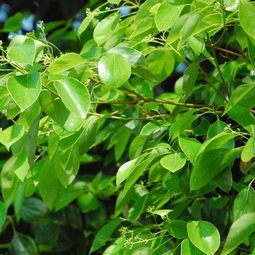 Natural White Camphor Essential Oils