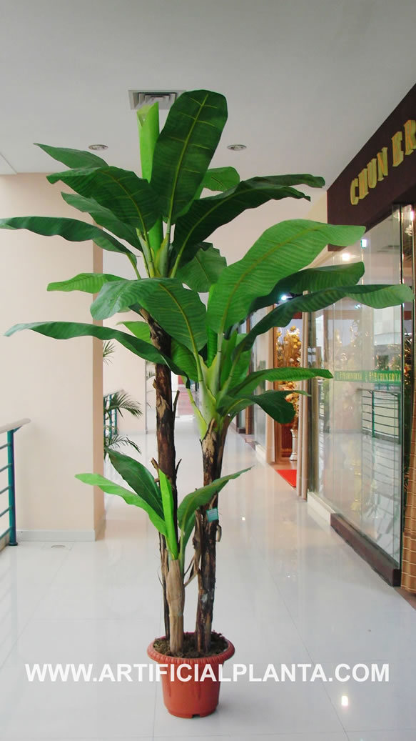 the gallery for gt indoor banana tree