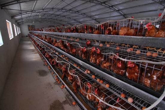 Poultry production in nigeria