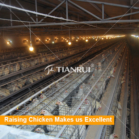 A Type Galvanized Automatic Chicken Farm Equipment For Layer/Hen/Egg Chicken