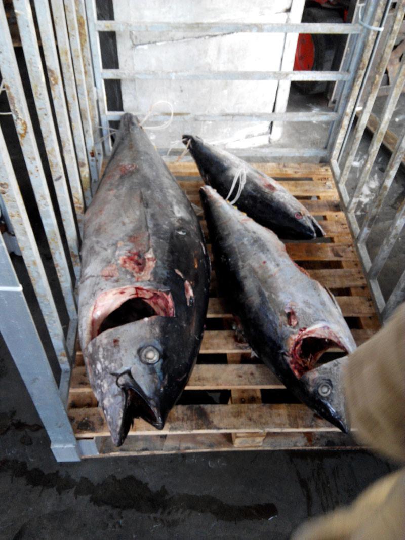 Frozen Seafood Fresh Whole Tuna