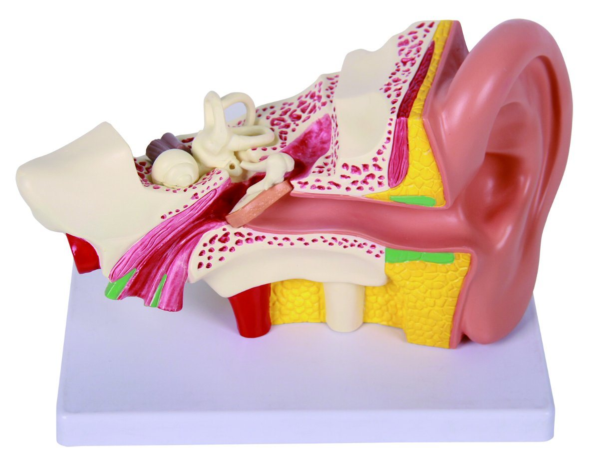 Medical Demonstration Anatomy Human Ear Model