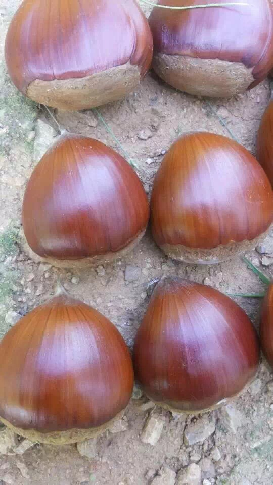 2016 New Season Export Professional Chinese Fresh Chestnut