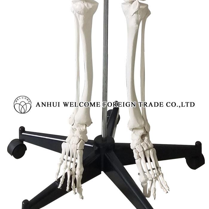 Model of The Human Skeleton Plastic PVC