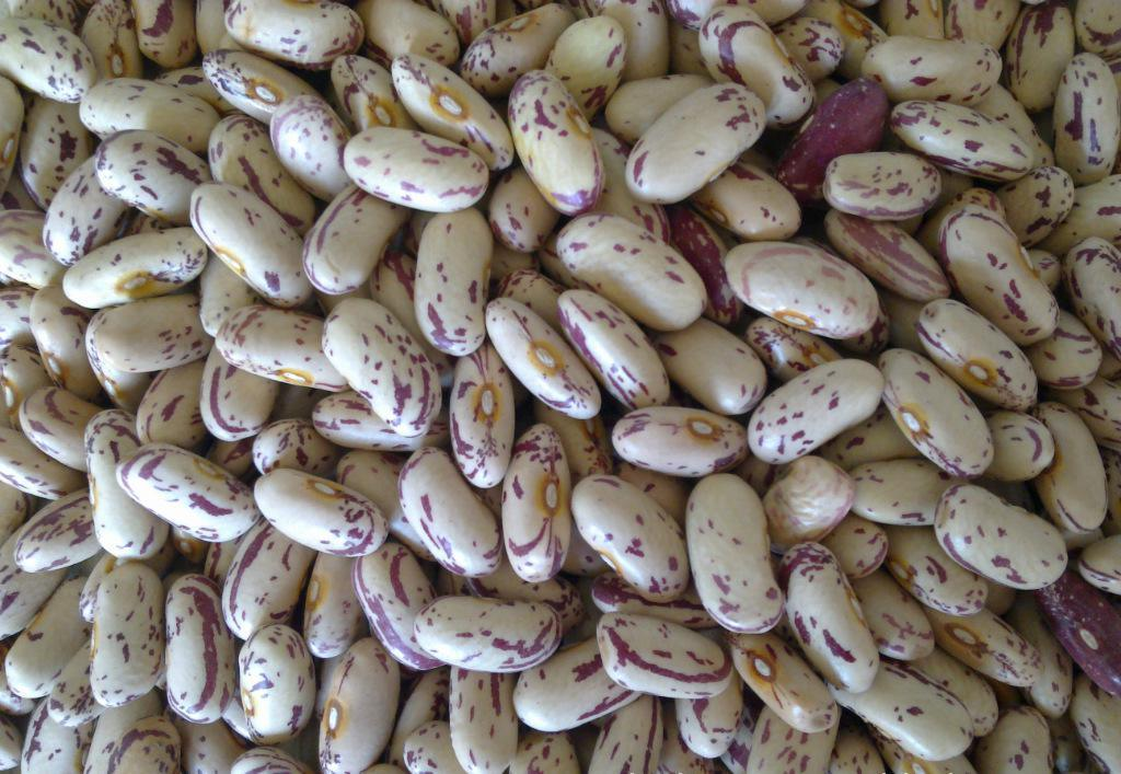 Light Speckled Kidney Bean, Pinto Bean