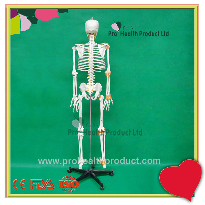 With Ligament Human Anatomy Skeleton 3D Model
