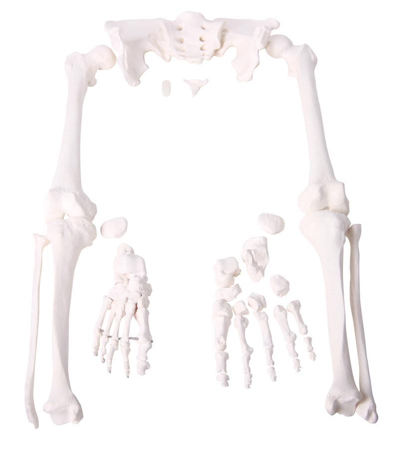 Disarticular Skeleton Model, Many Parts, Teaching Model