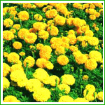 Natural Marigold Flower Extract Lutein Hot Sale