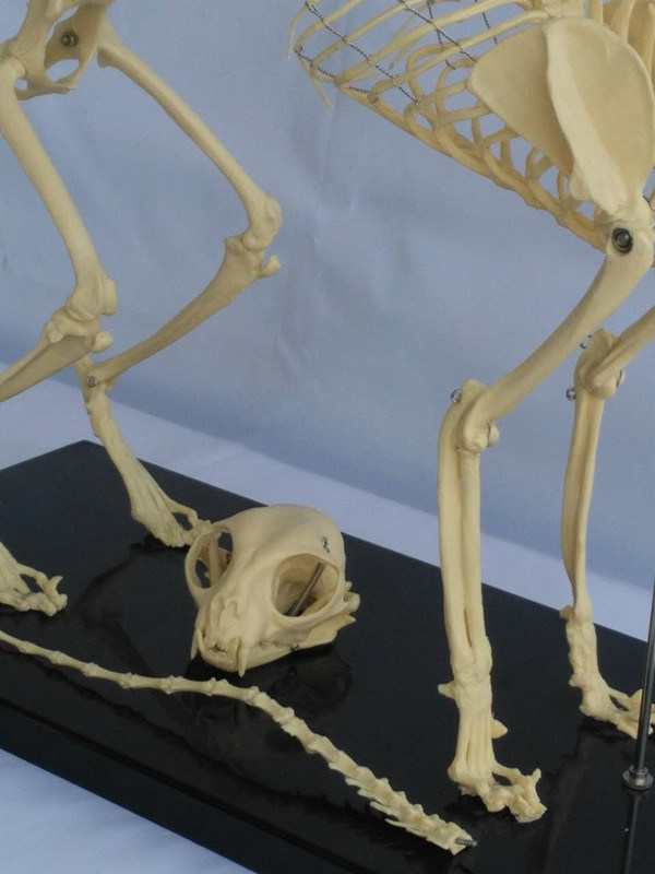 Animal Biology Teaching Cat Skeleton Anatomy Model (R190118)