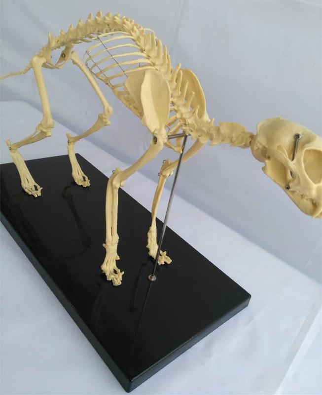 Animal Biology Teaching Cat Skeleton Anatomy Model (R190118)