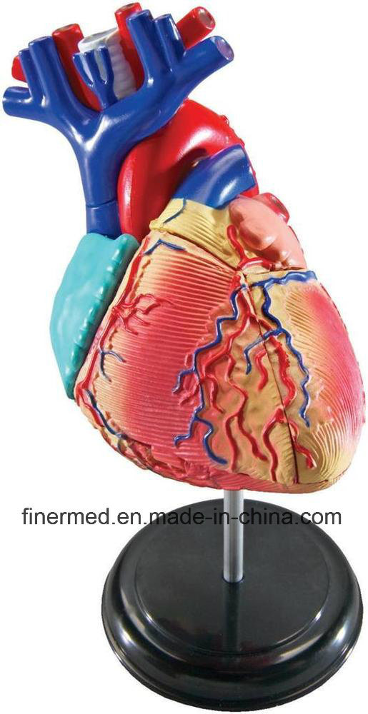 Medical Plastic Heart Anatomical Model