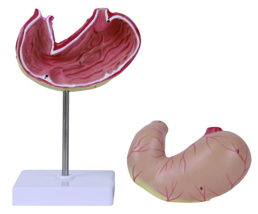 Natural Size 2 Parts Stomach Model