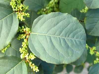 Pure Natural Polygonum Cuspidatum Root Extracted Resveratrol