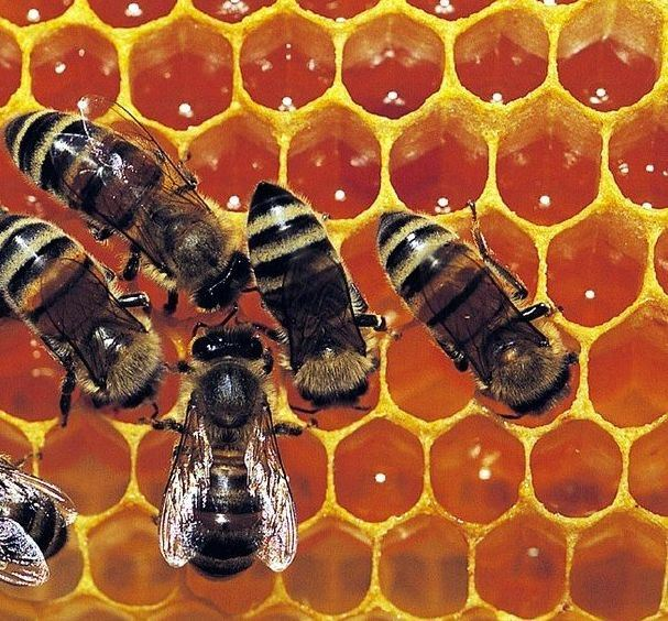 http://image.made-in-china.com/2f0j00PBFQdMbRCEcD/Bee-Propolis-Royal-Jelly.jpg