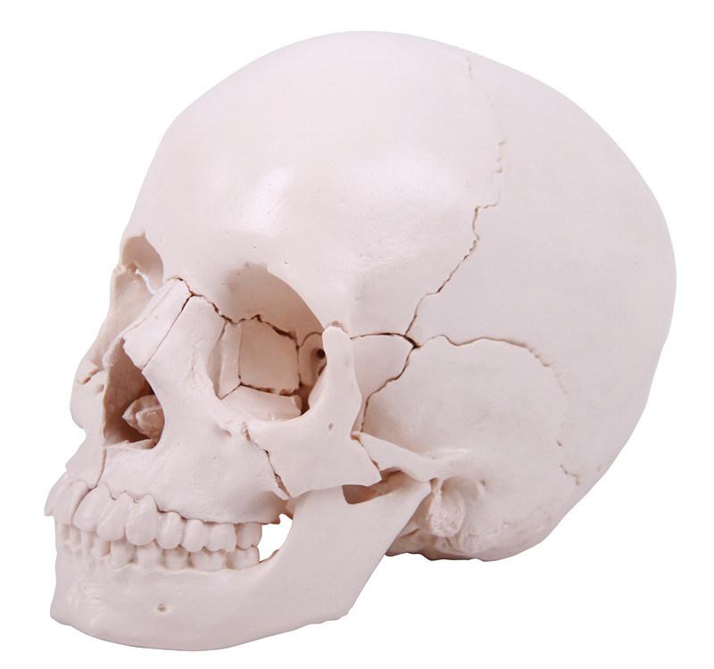 22 Parts Human Skull Model