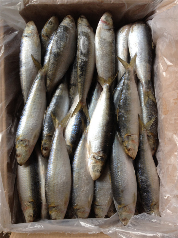 Big Specification W/R Fresh Frozen Sardine Fish