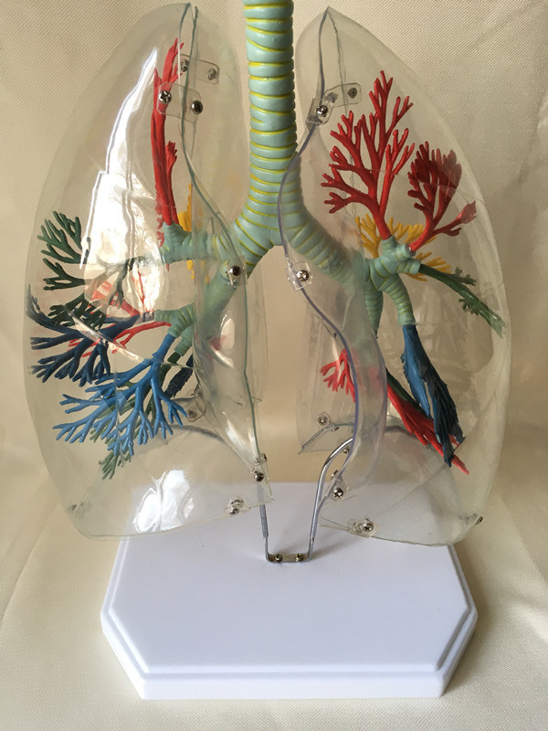 Medical Education Equipment Human Lung Anatomy Model
