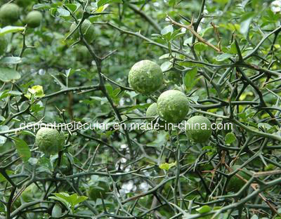 Citrus Aurantium Fruit Extract Methyl Synephrine HCl 6%-98%