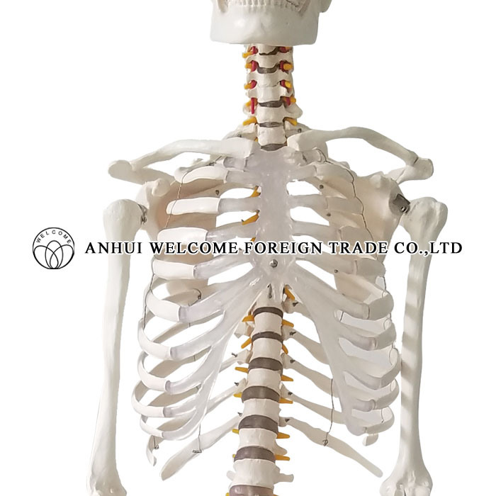 Model of The Human Skeleton Plastic PVC