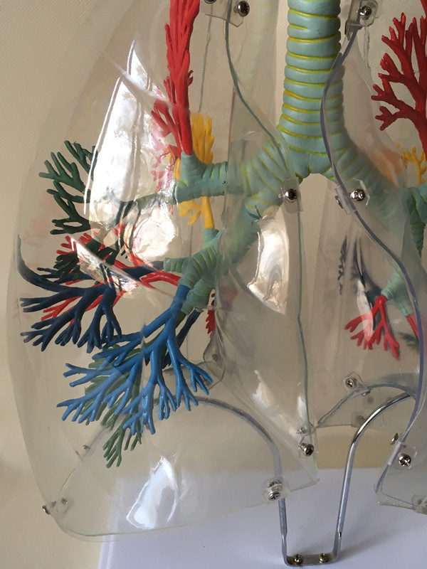 Medical Education Equipment Human Lung Anatomy Model