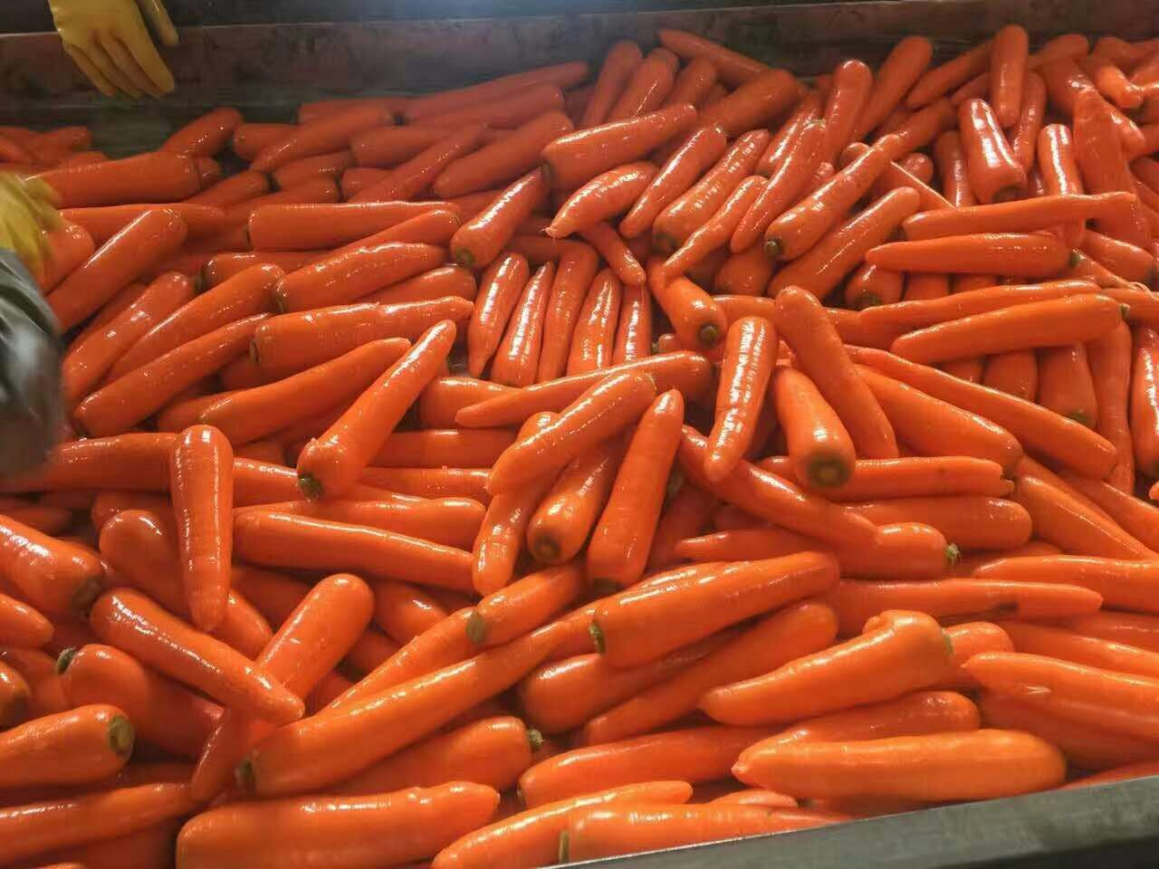 High Quality of New Crop Carrot (80-150g)