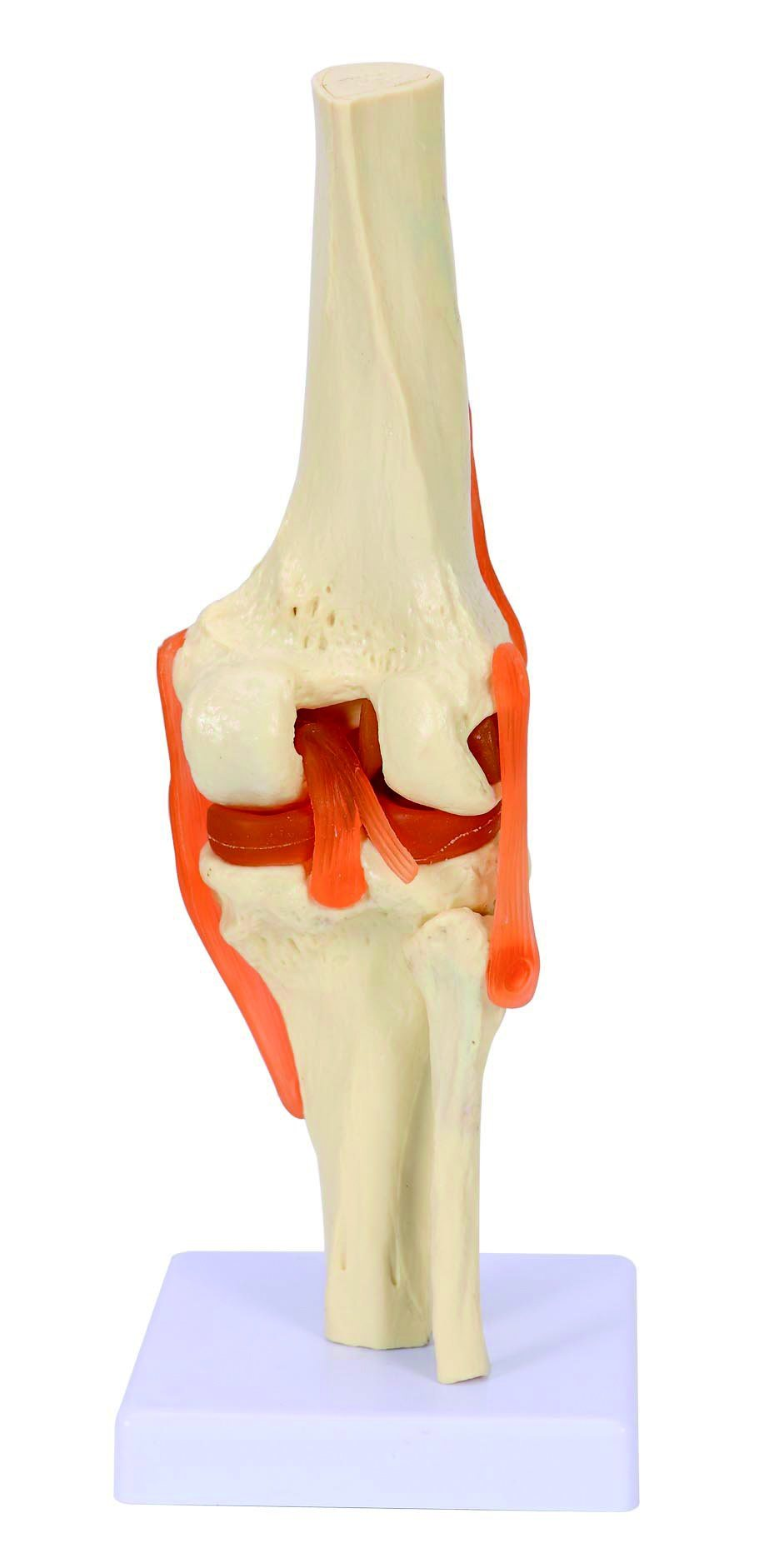 PVC Life-Size Knee Joint Model for Medical Teaching