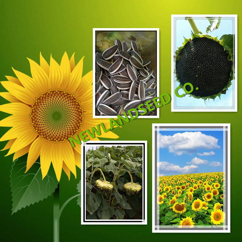 Chinese New Crop Sunflower Seeds 363 to Iran