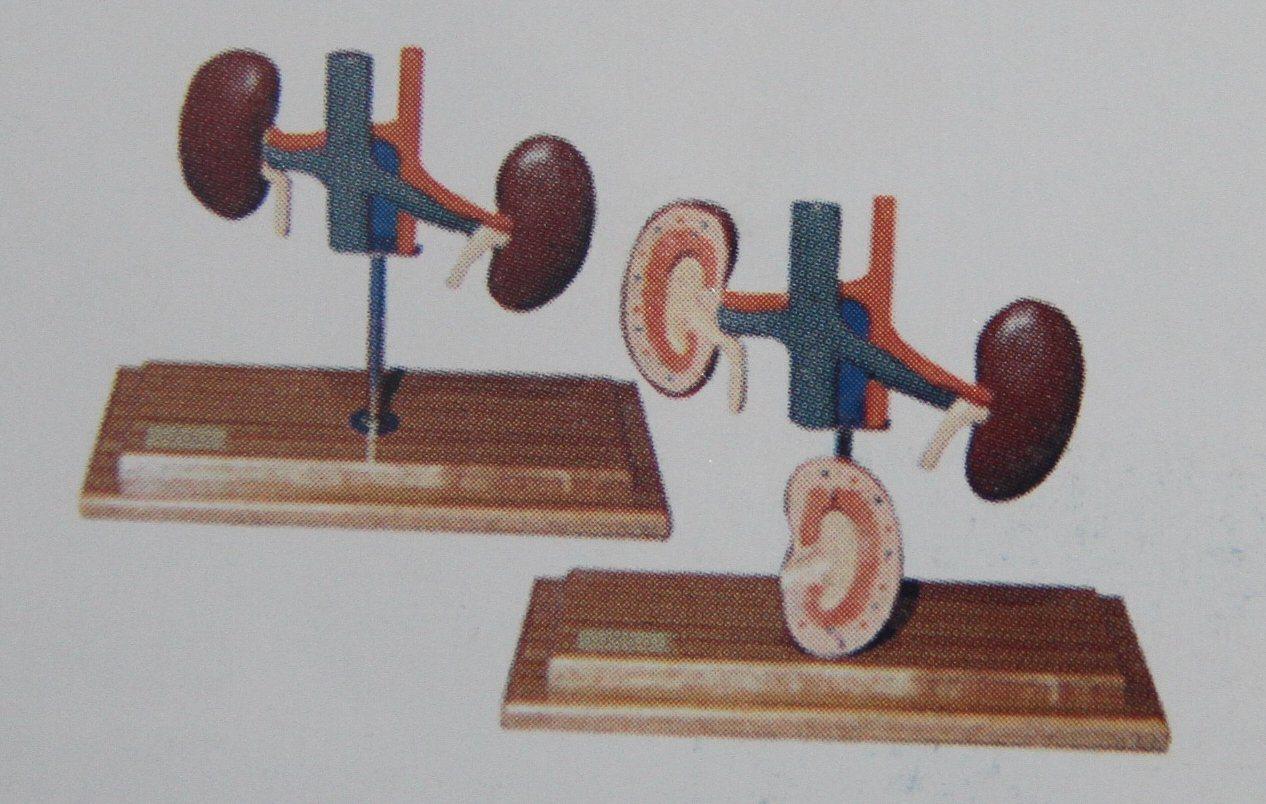 Animal Model Dog Kidney Model