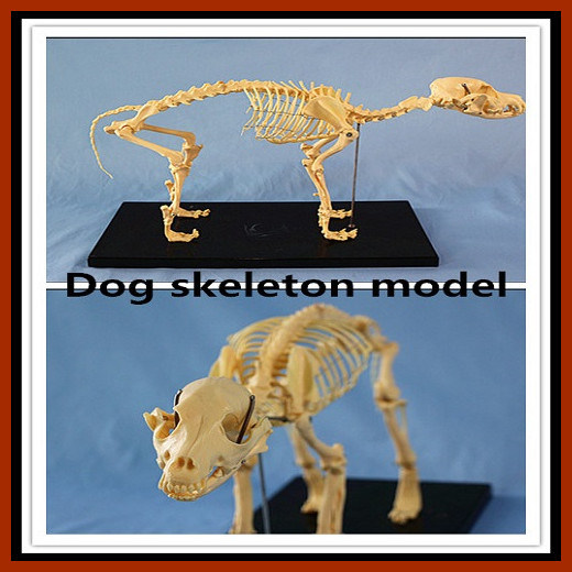 Animal Model Dog Skeleton Model for Pharmaceutical and Veterinarian′s Reference