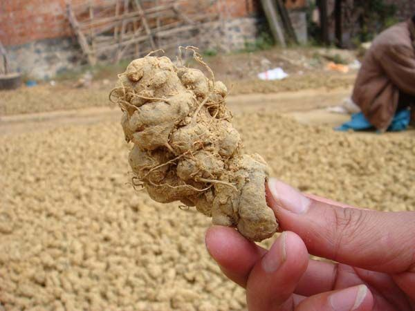 Wholesale 120 PCS/Jin Sanqi Extract Panax Notoginseng Extract
