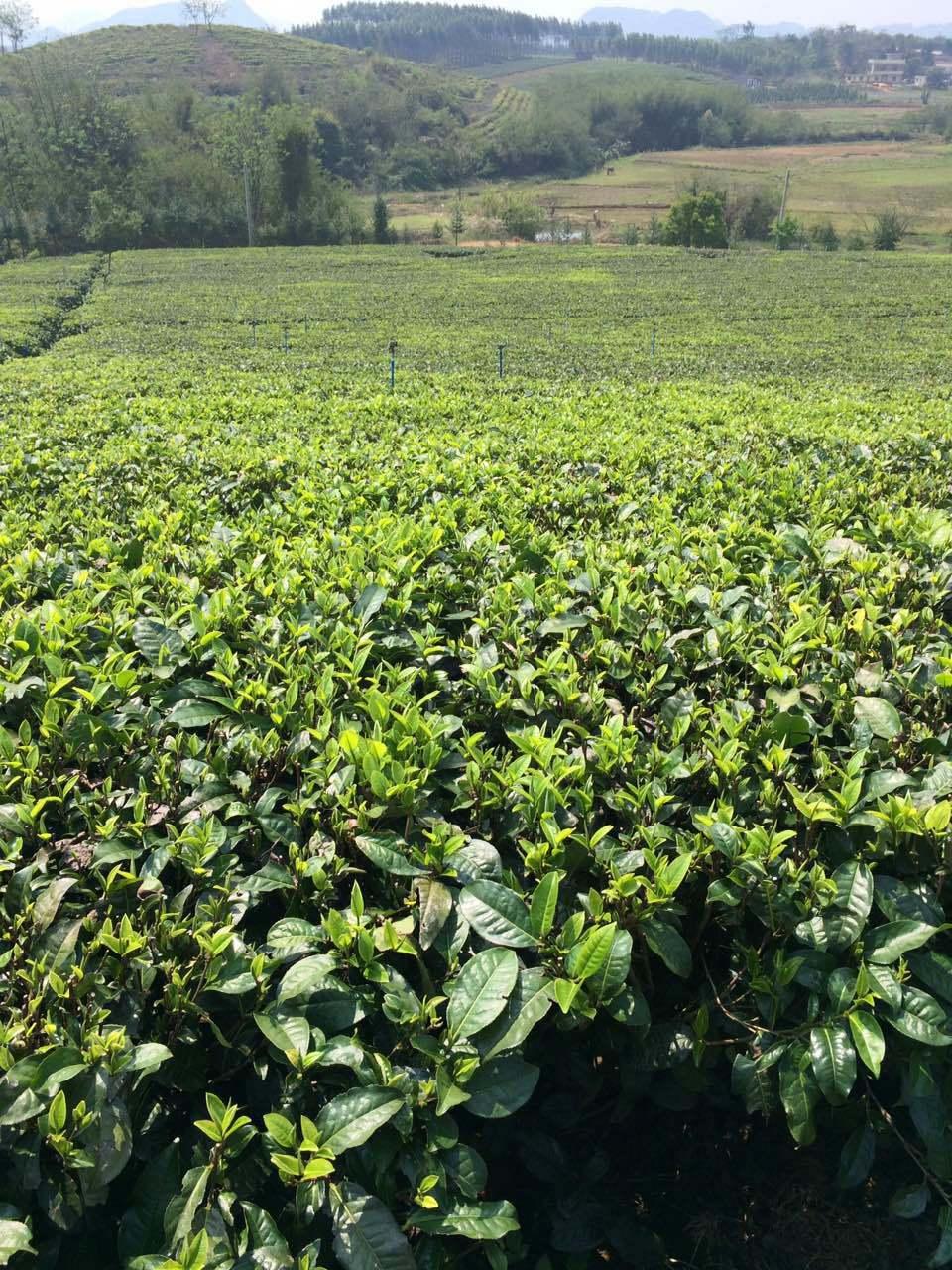 Chinese Tea EU Standard Yingde China Black Tea