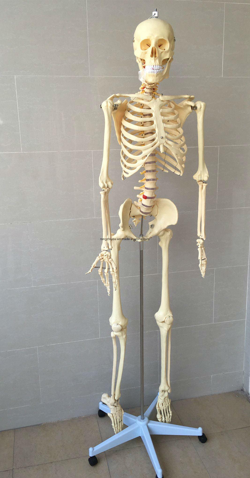 Life Size Human Skeleton Medical Anatomical Skeleton Model