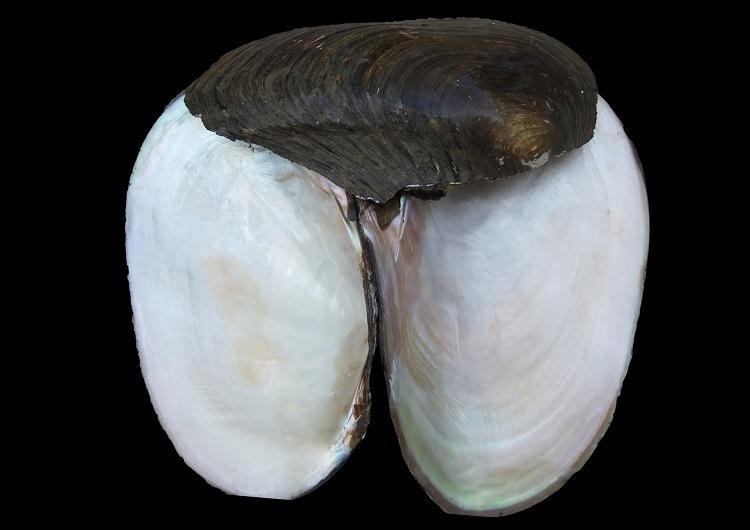 Chinese River Shell/Hyriopsys Cumingii Raw Material