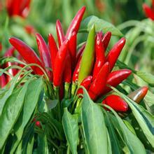 Hot Sale Factory Supply Directly 100% Natural Capsaicin
